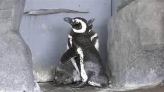 マゼランペンギン (しながわ水族館) 2018年8月23日