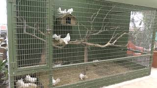ハト (ズケラン養鶏場 ミニミニ動物園) 2019年5月12日