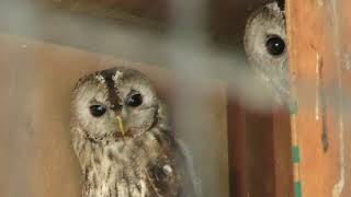 Tawny Owl (CHIKOZAN PARK ZOO, Saitama, Japan) July 22, 2018