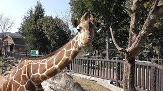 アミメキリン (福山市立動物園) 2019年2月25日
