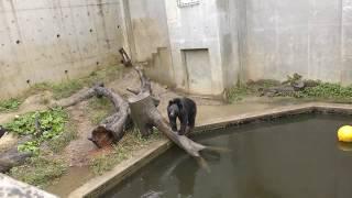 ニッポンツキノワグマ (日立市かみね動物園) 2017年10月21日