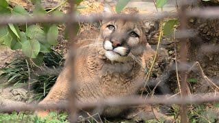 Cougar (TOBE ZOOLOGICAL PARK OF EHIME PREF., Ehime, Japan) December 25, 2019