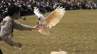 フリーフライトバードショーパフォーマンス Wings [4/6] (神戸どうぶつ王国) 2021年3月29日