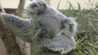 コアラ の『ニーナ』と『コタロウ』 (多摩動物公園) 2019年1月18日