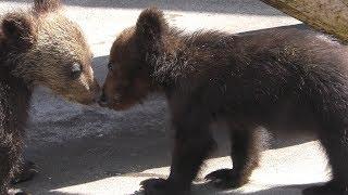 子熊たち (昭和新山熊牧場) 2019年6月15日