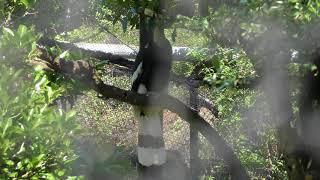オオサイチョウの『ヒデキ』 (伊豆シャボテン動物公園) 2018年4月22日