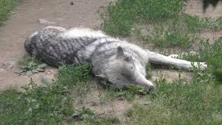 シンリンオオカミ の『ショウ』と『ジェイ』 (札幌市 円山動物園) 2019年6月13日