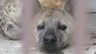 ブチハイエナの『ブブゼラ』 (宇都宮動物園) 2018年4月30日