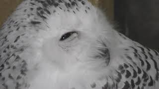 シロフクロウの笑顔 (井の頭自然文化園) 2017年9月23日