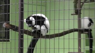エリマキキツネザル (東山動植物園) 2017年11月18日