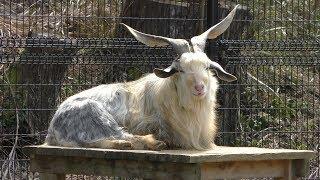 ミミナガヤギ Long eared goat
