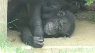 チンパンジー (神戸市立 王子動物園) 2020年8月4日