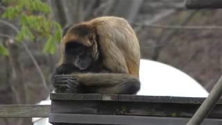 ジェフロイクモザル (茶臼山動物園) 2018年4月15日