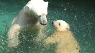 Polar bear Parent and child (TENNOJI ZOO, Osaka, Japan) June 25, 2021