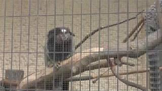 クロミミマーモセット (日本平動物園) 2017年12月10日