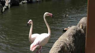 Greater Flamingo (KOBE ANIMAL KINGDOM, Hyogo, Japan) June 24, 2020