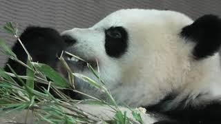 Giant panda brushing teeth (ADVENTURE WORLD, Wakayama, Japan) January 18, 2020