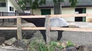 マレーバクの舌 (東武動物公園) 2017年7月15日
