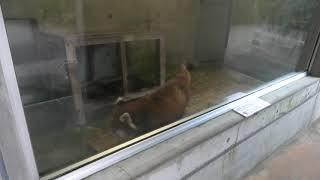 レッサーパンダ (宮崎市フェニックス自然動物園) 2019年12月9日