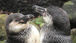 フンボルトペンギン (那須どうぶつ王国) 2020年9月14日