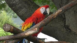 アカコンゴウインコ の『パセリ』 (おびひろ動物園) 2019年7月6日