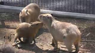 カピバラファミリー (伊豆シャボテン動物公園) 2018年4月22日