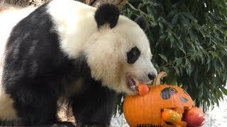 ジャイアントパンダ の『タンタン』にハロウィンかぼちゃのプレゼント (王子動物園) 2019年10月27日