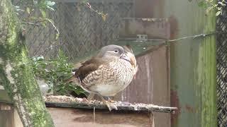 オシドリ (茶臼山動物園) 2018年4月15日