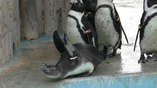 ケープペンギン (上野動物園) 2018年12月11日