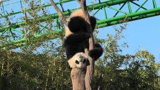 Tree climbing Giant panda (ADVENTURE WORLD, Wakayama, Japan) January 18, 2020