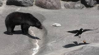 クマの餌を奪うカラス (奥飛騨クマ牧場) 2018年4月21日