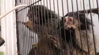 コモンマーモセット と クロミミマーモセット の交雑種 (草津熱帯圏) 2018年11月11日