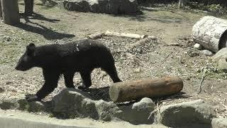 ニホンツキノワグマ の『ツバサ』 (仙台市八木山動物公園) 2019年4月13日