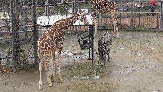 キリン (京都市動物園) 2019年1月26日