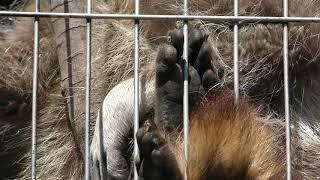アライグマ (仙台市八木山動物公園) 2019年4月13日