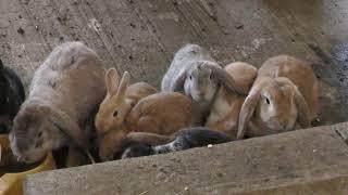 ウサギ と モルモット (熊本県ふれあいファミリー牧場) 2019年4月18日