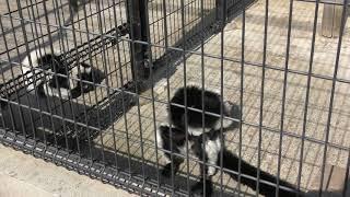 エリマキキツネザルの『オリーブ』と『ペギー』 (市川市動植物園) 2018年3月4日