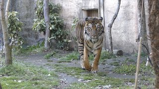 スマトラトラ の『ケアヒ』 (仙台市八木山動物公園) 2019年4月13日