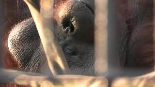 オランウータン の『ハッピー』 (宮崎市フェニックス自然動物園) 2019年12月9日