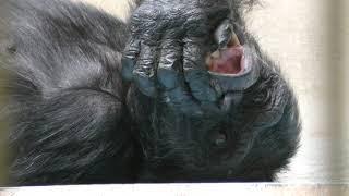 チンパンジー (釧路市動物園) 2019年7月4日