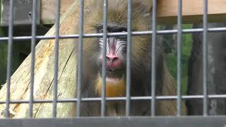 マンドリル の『マロン』と『サマンサ』 (静岡市立 日本平動物園) 2019年9月29日