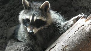 Common raccoon (KOBE ANIMAL KINGDOM, Hyogo, Japan) April 23, 2021