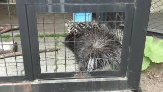アフリカタテガミヤマアラシ の『テンテン』 (釧路市動物園) 2019年7月4日