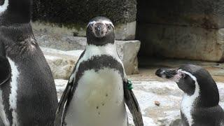 フンボルトペンギン (千葉市動物公園) 2020年9月17日