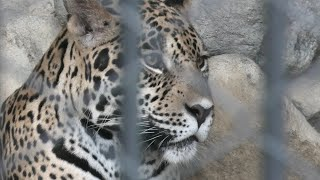 ジャガー  の『リンド』 (東武動物公園) 2020年9月18日