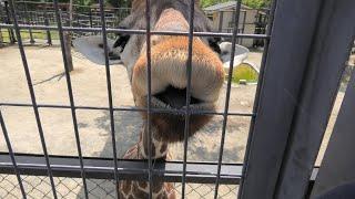 キリン (京都市動物園) 2020年9月1日