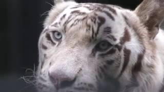ホワイトタイガー の『カイ』 (平川動物公園) 2018年7月29日