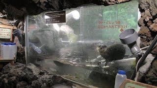 コツメカワウソ にドジョウのエサやり体験 (伊豆シャボテン動物公園) 2019年10月1日