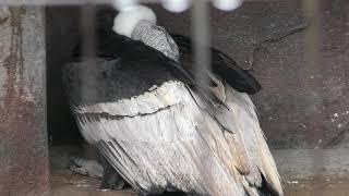 雨の日のアンデスコンドル (東武動物公園) 2017年10月15日