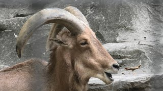 Aoudad (Ueno Zoological Gardens, Tokyo, Japan) September 11, 2020